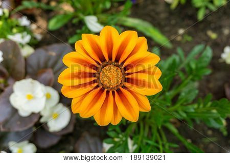 View on beautiful Flowers in Sunlight. Close-up of colourful Flowers. Gazania. Growing Flowers. Garden Flowers.