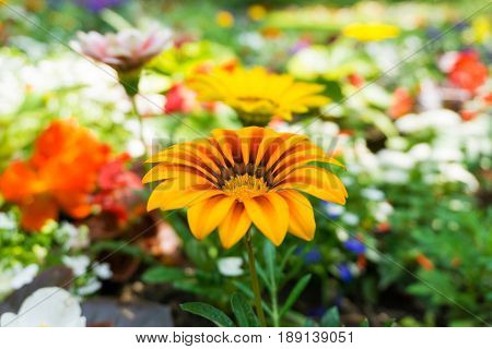 View on beautiful Gazania Flowers in Sunlight. Close-up of colourful Flowers. Growing Flowers. Garden Flowers.
