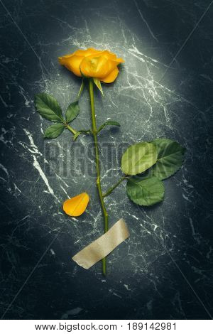 Single stem of yellow rose held down with tape