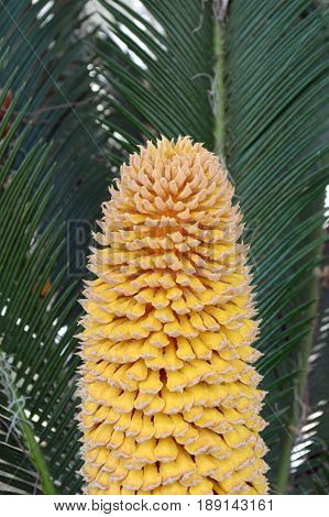 Closeup of yellow cycas flower in center of sago palm