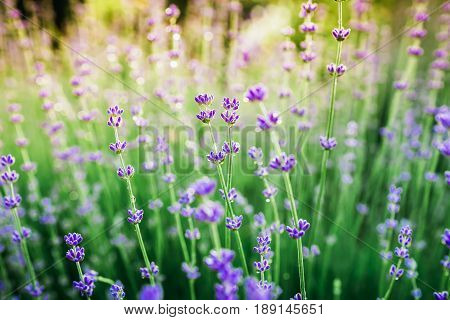 Blooming lavender in summer and sun evening light. Garden flowers