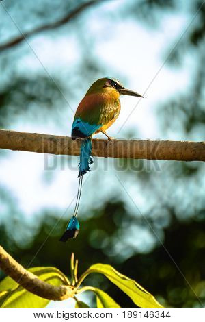 Turquoise browed motmot (Eumomota superciliosa) sits on the tree's branch.