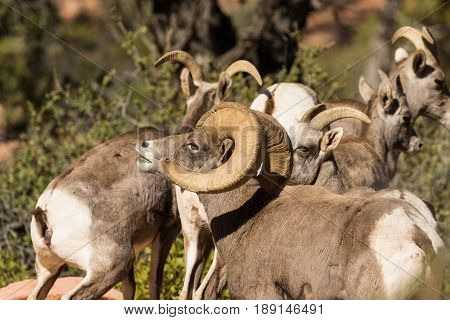 a desert bighorn sheep ram and some ewes during the fall rut
