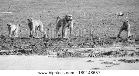 Baboon troop comming to drinking water in artistic conversion