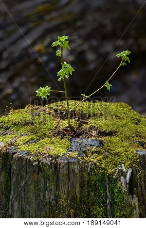 A young tree sprouts from an old dead stump giving a great example of a fresh start or rebirth.