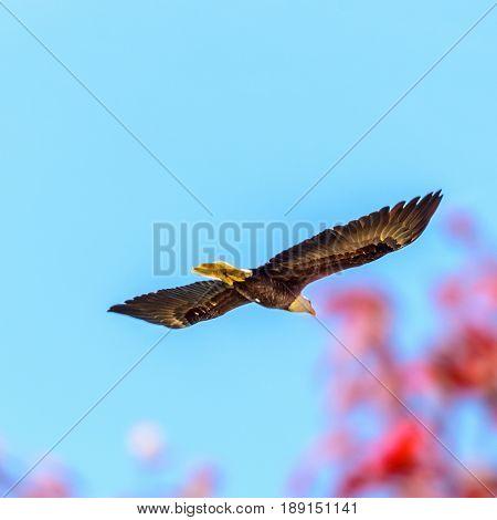 A bald eagle flying (lat. haliaeetus leucocephalus) in Vancouver, Canada.
