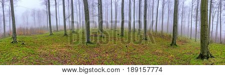 Panorama beech forest with fog in background