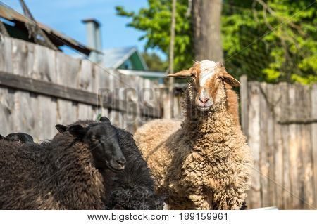 Sheep in Farm outdoor. Funny sheep on the farm.