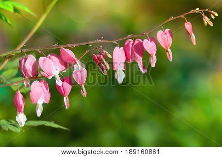 Bleeding heart flowers (Dicentra spectabils) in garden