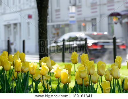 Yellow tulips with raindrops on the petals on the background of a city avenue with cars on a spring day after rain. poster