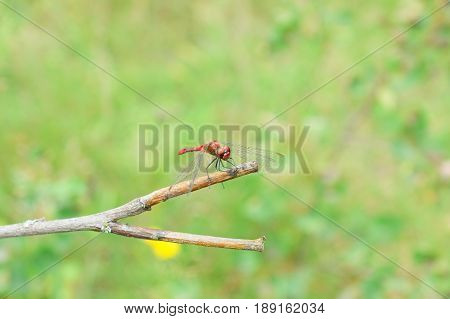 wild dragonfly resting on a branch in the forest