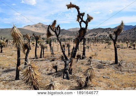 Charcoaled Joshua Trees burnt from a wildfire taken in the Mojave Desert, CA