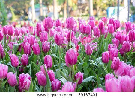 Pink Tulip Flower Fields Blooming In The Garden