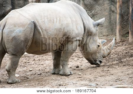 PHILADELPHIA, PA - MAY 30: Southern white rhinoceros Ceratotherium simum simum at the Philadelphia Zoo, Amercia's First Zoo, wildlife refuge and zoological garden on May 30, 2017