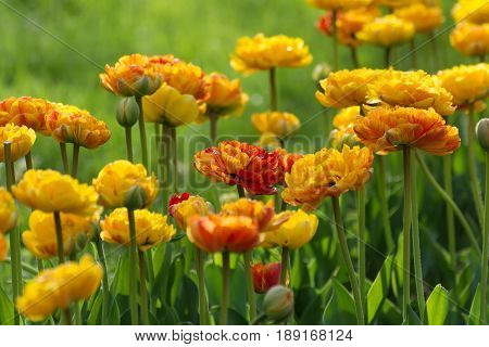 Multilobed, Terry Orange And Yellow Tulip In A Spring Garden.