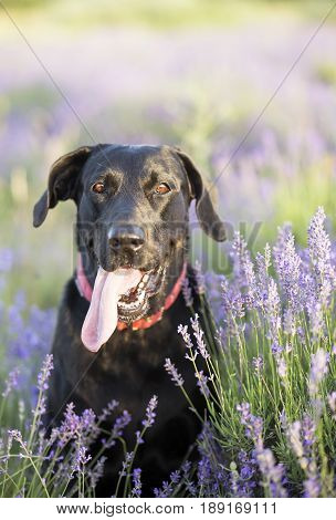 Happy Labrador Retriever dog with lavender flowers in summer