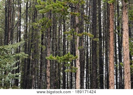 Looking deep into a forest of lodge pole pine trees in Banff National Park Alberta Canada.