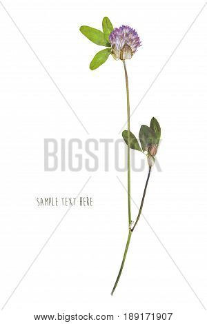 Pressed and dried flowers clover isolated on white background. For use in scrapbooking floristry or herbarium.