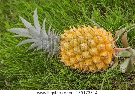 Yellow pineapple on the green grass lawn