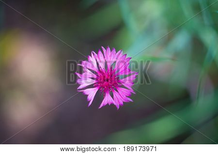 pink little flower with green blur background in summertime