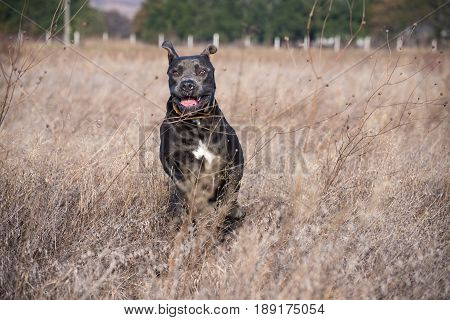 Stunning dark gray purebred cane corso jumping through a dry grass