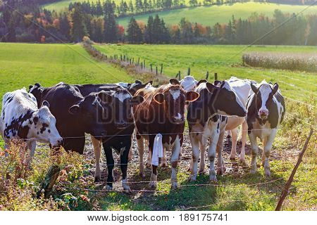 Holstein cattle in a rural field.