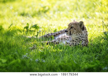 Young adult cheetah rests in the shade while keeping a watchful eye on the surroundings. The cheetah is the fastest land mammal on the planet, but will conserve energy for the kill.