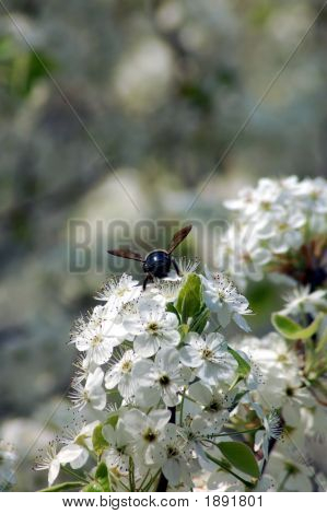 Bee On The Flower In The Spring
