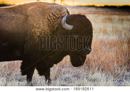Bison profile at sunset on the Rocky Mountain plains.