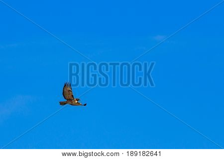 Red tailed hawk soaring against partly cloudy sky on a beautiful day