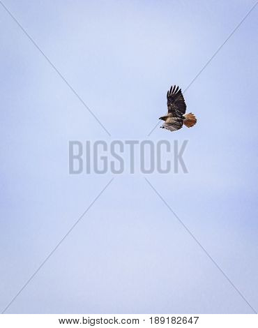 Red-tailed hawk soaring with its wingspan displaying its feathers