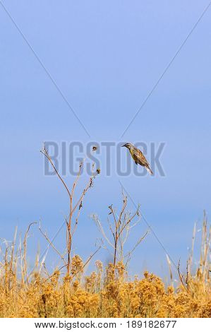 Eastern Meadowlark suspended in mid air approach to landing