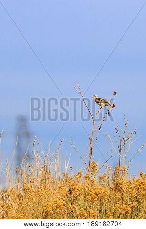 Eastern Meadowlark singing a pretty song on a Sun Flower stalk