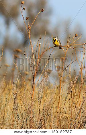 Eastern Meadowlark left side profile singing on sun flower stalk