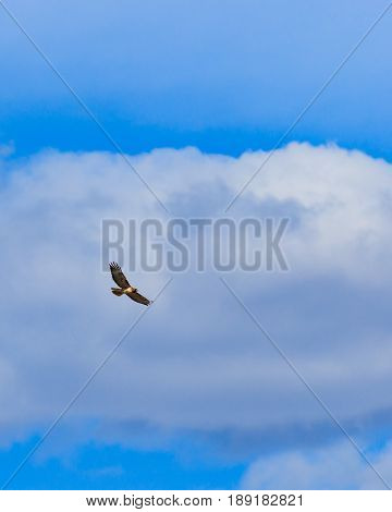 Red tailed hawk soaring effortlessly against a bank of clouds