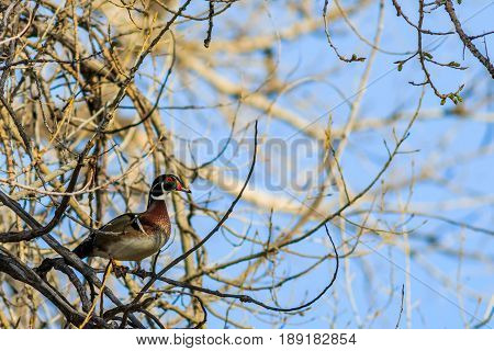 Wood duck perched in a tree warily on guard