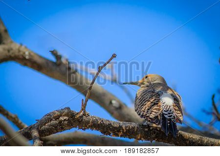 Northern Flicker perched in a tree displaying plumage
