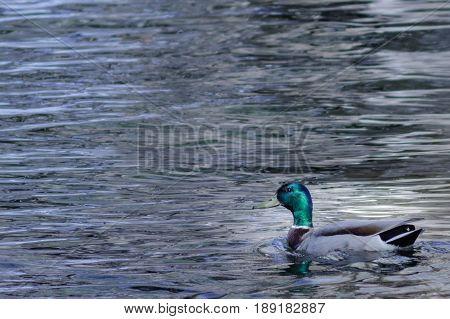 Mallard duck swimming leisurely on a lake