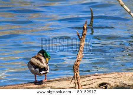 Mallard duck seeimingly asleep while standing on a log on a lake