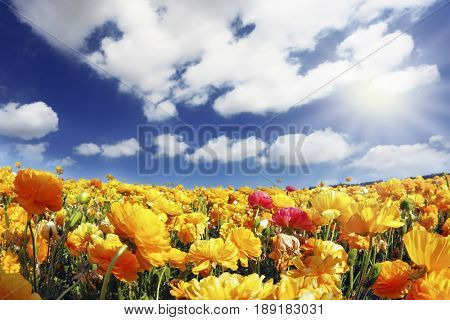 The wonderful spring weather, light clouds flying across a blue sky. Huge fields of blossoming garden buttercups (Ranunculus asiaticus).  The picture was taken Fisheye lens