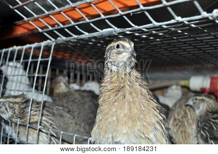 one Manchurian quail in a cage with other birds including Texas quail, and white giant