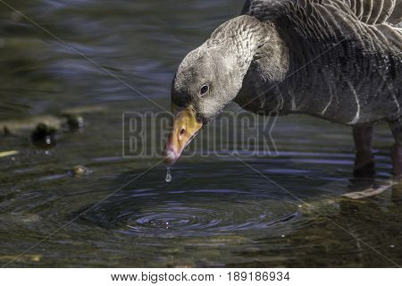 Greylag goose drinking water. Close up nature image with copy space.