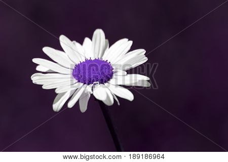 Surreal summer nature image of a beautiful purple daisy flower against a plain purple background with copy space. Surreal and futuristic picture in natural colors of an artificially created plant.