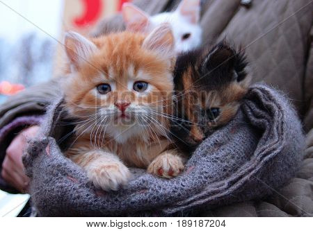 Kitten for sale in hand-made scarf outdoor. Foxy-red orange white kitten boy and black brown kitten girl. Sad kitten red cat. Orange cat. Tiger cat kitty