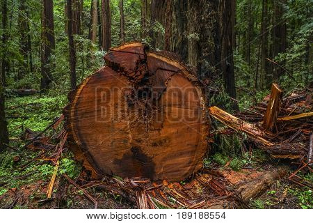 The Giant red Cedar trees at Redwoods National Park - REDWOOD FOREST