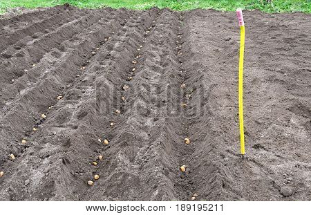 Dug Up A Field In Which To Plant The Potatoes In Rainy Weather