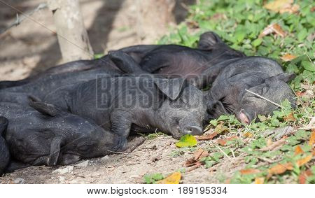 A group of sleeping piglets sleeps in the sun outside