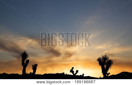 Joshua Trees in Silhouette against the sunset