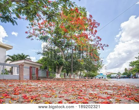 Long An, Vietnam - May 21st, 2017: Red Carpet royal Poinciana flowers bloom and fall front yard roadside create idyllic beauty in the countryside Long An, Vietnam