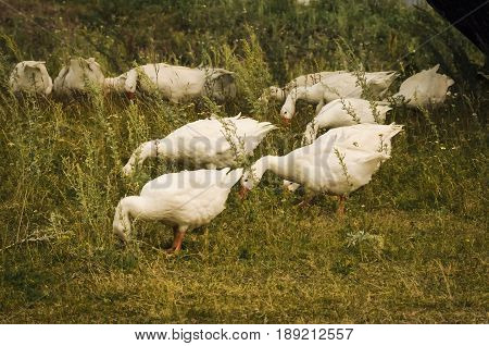 A flock of domestic white geese nibbling the green grass on the meadow is fenced